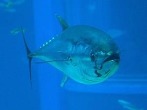 Atum azul