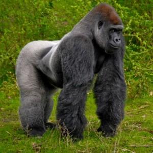Gorila das montanhas