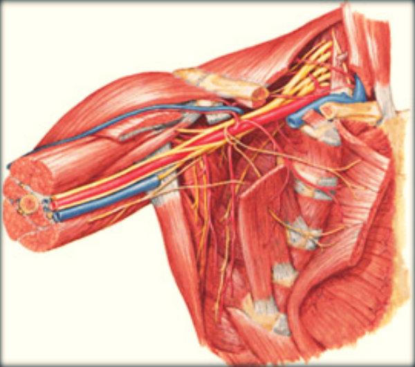 Anatomia braço humano