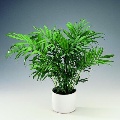 Palmeira