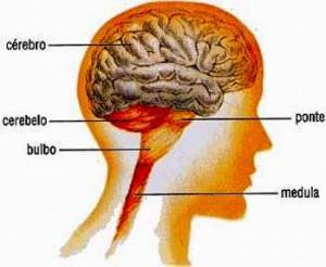componente do cérebro