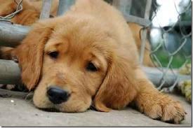 cachoro infectado com carrapato