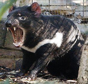 Diabo da Tasmânia