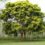 Árvore do pau brasil