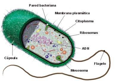 esquema da célula procarionte